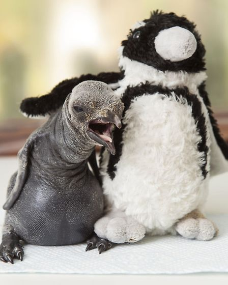 King penguin chick with cuddly penguin toy at Birdland Park and Gardens / Photo: BNPS