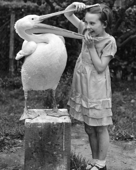 June Mottershead gets to grips with a pelican at Chester Zoo