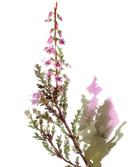Visit Hertford Heath, where heather is at its best this month
