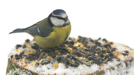 A blue tit feeding during the winter months