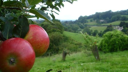 Apple orchard in the Slad Valley