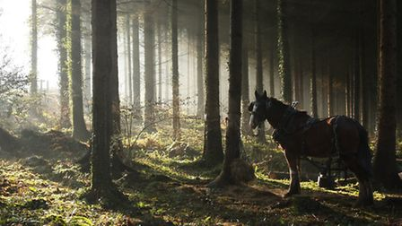 Heavy horses removing spruce trees at Rosemoor