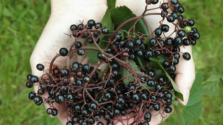 Elderberries are a popular choice for cordials and even champagne. Photo: Alan Price