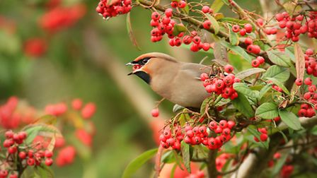 The stunning and exotic-looking waxwing can be an early winter treat, when harsh arctic weather hits