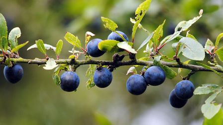 Blackthorn not only creates a snow-like white coat of spring flowers, but also autumn sloes ideal fo