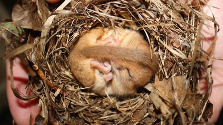 A torpid dormouse, photographed by Kate West