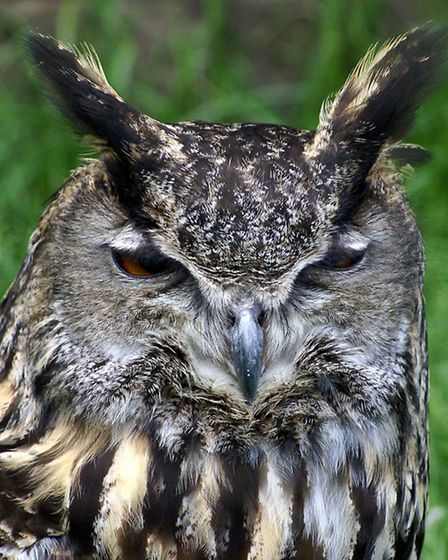 Eagle Owl - photo by Sue Heath