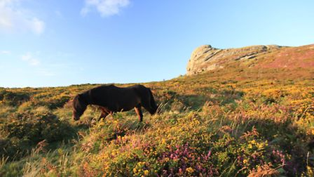 Haytor is one of the best spots to see the colours of heather and western gorse