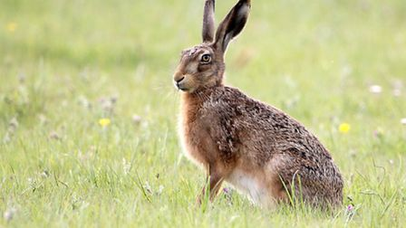 Brown hare, photo by Jim Higham
