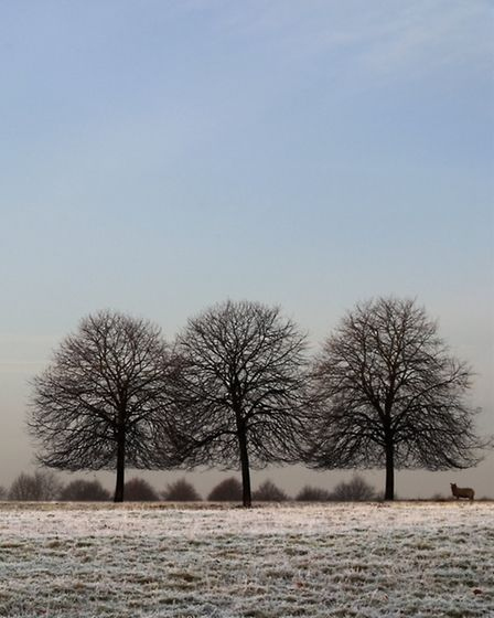 A Trio of Winter Trees