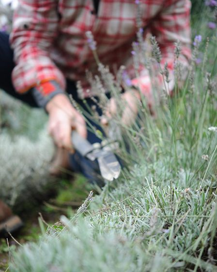 Its not too early to trim back tatty tops of woody herbs like lavender