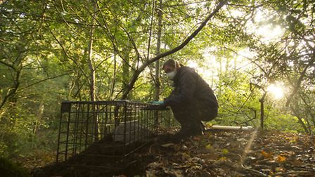 The Wildlife Trusts trained staff begin at dawn checking live badger traps set overnight ready for v