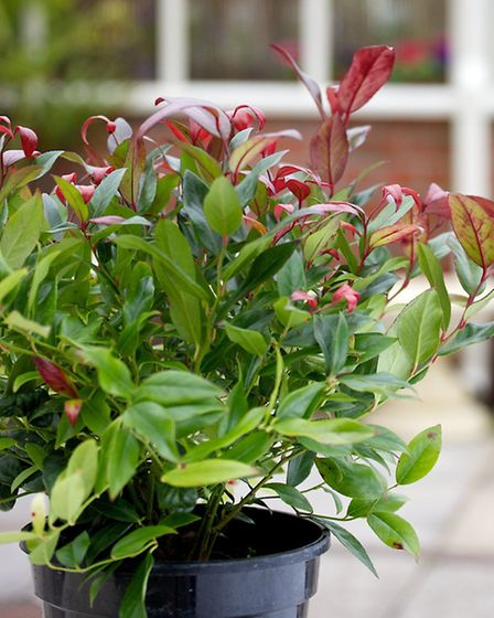Leucothoe 'Scarletta' is evergreen, needs no pruning, copes with shade and makes a graceful containe