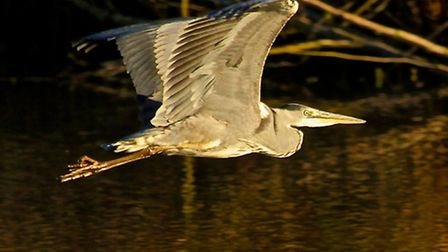 A Heron takes flight over Fleet Pond - photo by Clearwater Photography UK