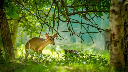 Zena Saunders'' winning BWC image At home with a Muntjac
