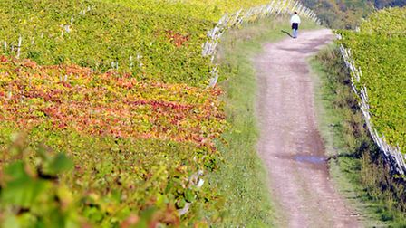 Walker in the vines at Denbies (Photo: Andy Newbold)