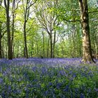 Burton-Mere-Bluebells-by-Ron-S-defd7d73