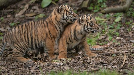Two's company: Sumatran tiger cubs at Chester Zoo are pulling in the crowds