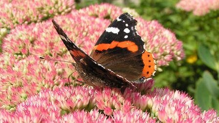 Many garden flowers are great nectar sources for butterflies, such as this red admiral feeding on a