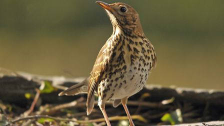 The song thrush is on the Red list as its numbers have fallen in the countryside, despite being a co