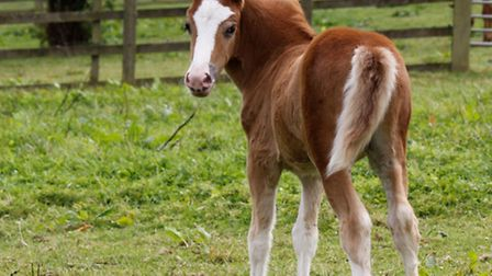 Little Cas, who is available for loan from The Mare and Foal Sanctuary