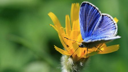 A common blue butterfly hard at work pollinating wild flowers. Picture by Vicky Nall