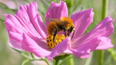 This common carder is a busy bee. Picture by Penny Frith