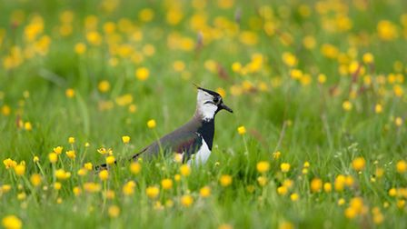 Lapwings love the ancient grasslands too. Picture by Paul Bunyard