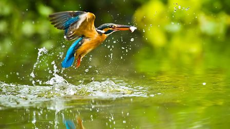 Kingfishers can be seen along the river