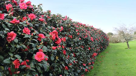 The Earls pride and joy is the camellia hedge flanking the vegetable garden