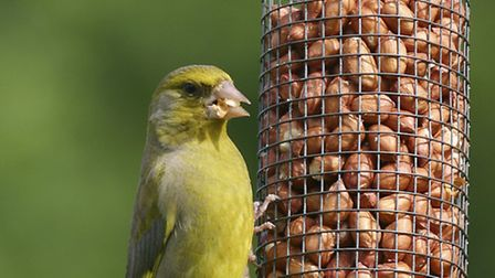 Devon appears to be a stronghold for Greenfinches, which have been declining since 2005