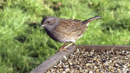 Seed mixes will attract a wide range of species, including Dunnocks