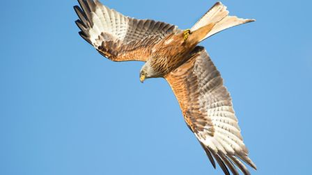 Red kite reintroduction has been a huge success