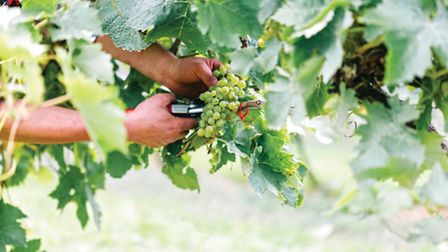 The Lyme Wine vineyards produced a bumper harvest last year