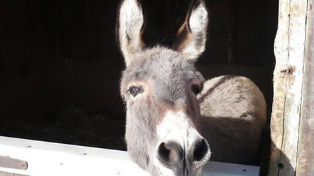 A donkey at the sanctuary | Photo credit: The Island Farm Donkey Santuary