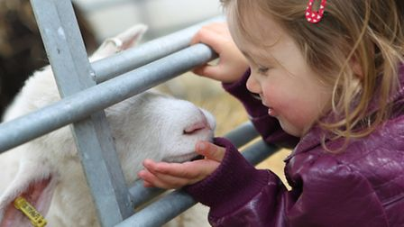 A young girl says hello to a lamb at Herts County Show