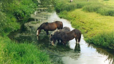 Horses drinking in the River Bulbourne, managed by Box Moor Trust