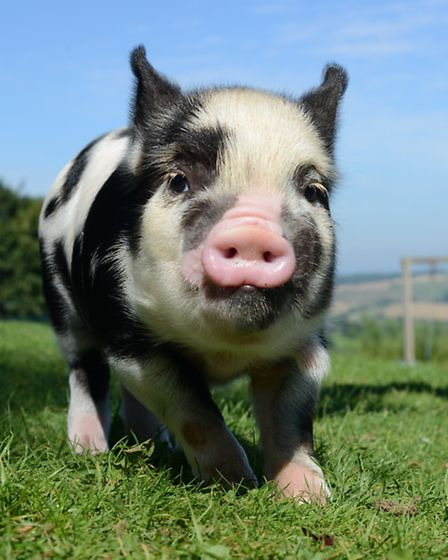Pennywell's Pigs and Rabbits Roadshow