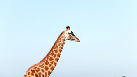 A giraffe catches up to its herd, or 'tower', at the Amakhala Game Reserve