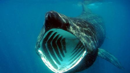 Basking shark. Picture by Andrew Pearson