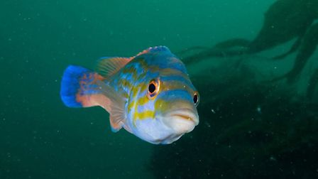 Male cuckoo wrasse. Picture by Paul Naylor