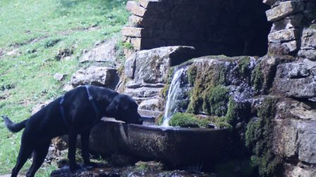 Saffy having a drink at the trough in Postlip
