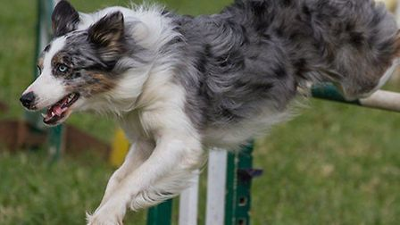 Dogs compete at the Cotswold Show and Food Festival