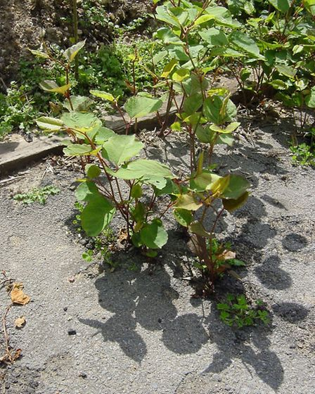 Japanese knotweed is extremely invasive when it takes hold
