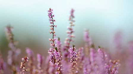 Common heather. Photograph by Amy Lewis