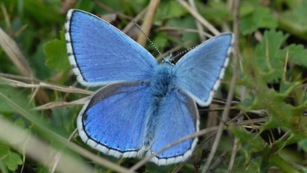 Adonis Blue / Photo: Phil Colebourn