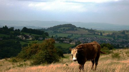 Cattle grazing in Gloucestershire / Credit: Richard Evans