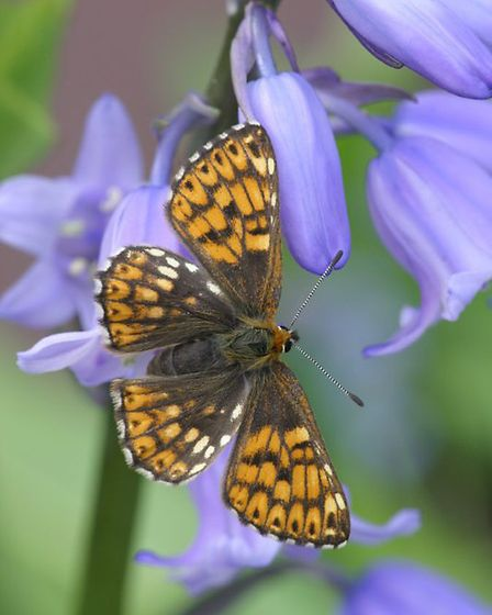 Duke of Burgundy fritillary butterfly (Hamearis lucina) on a bluebell / Credit: Richard Evans
