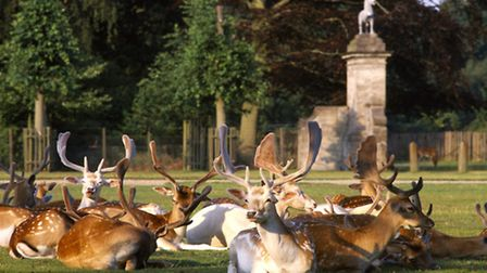 Fallow Deer resting in the sunshine on the lawn by the South Front of Dunham Massey.