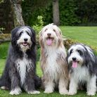 Three of Colin's handsome four-legged friends (Photo Penelope Malby)